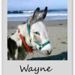 wayne-adopt-a-donkey-