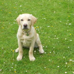 Hearing Dog Puppy George Comes to Stay