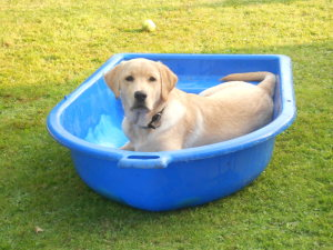 Mabel The Golden Labrador Hearing Dog Puppy Comes to Stay
