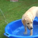 Hearing Dog Puppy Mabel The Golden Labrador Comes To Stay