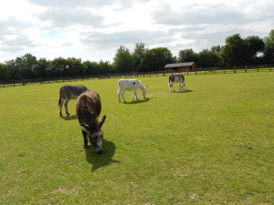 Donkey Assisted Therapy Visits London