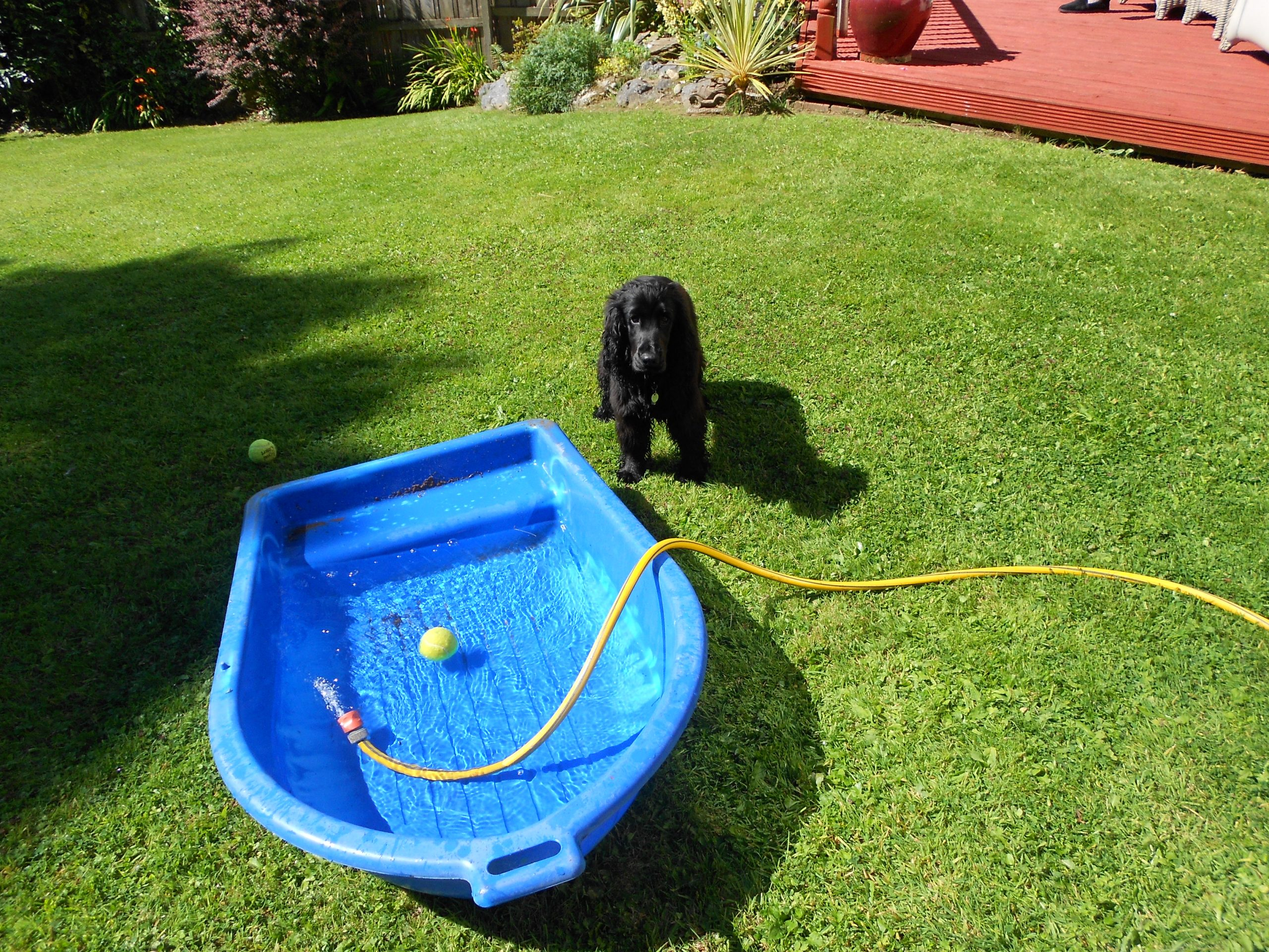 Hearing Dog Puppy Cocker Spaniel  Enzo Comes to Stay