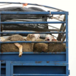 Vote LEAVE In The EU Referendum If You Care About Animal Welfare