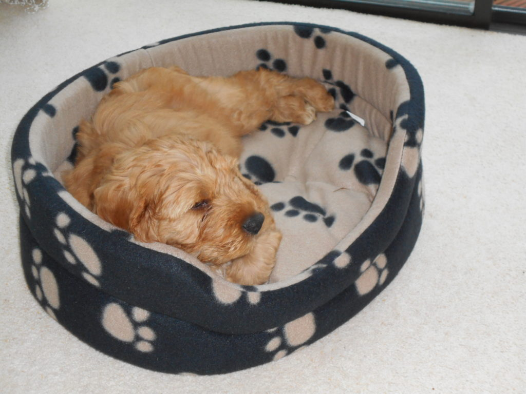 Clumberdoodle Puppy Archie Fast Asleep