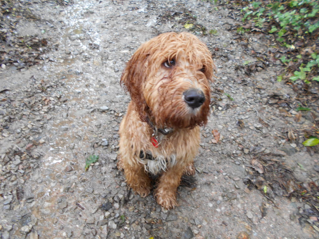 Clumberdoodle Archie Soaking Wet