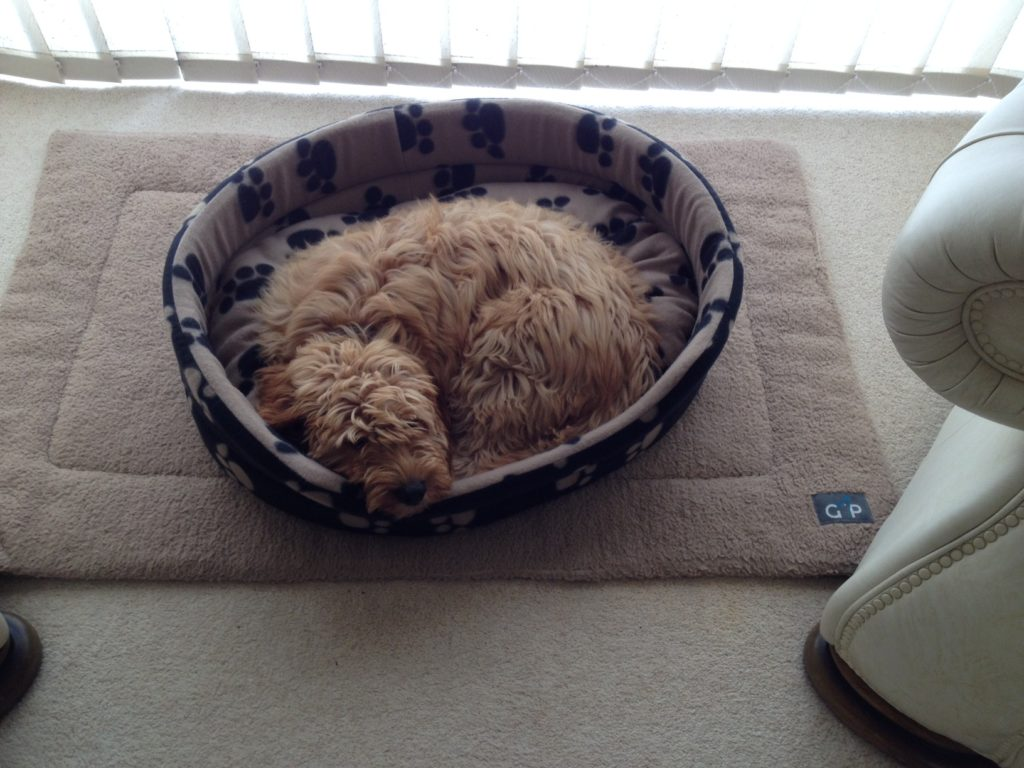 Clumberdoodle Archie's big bed
