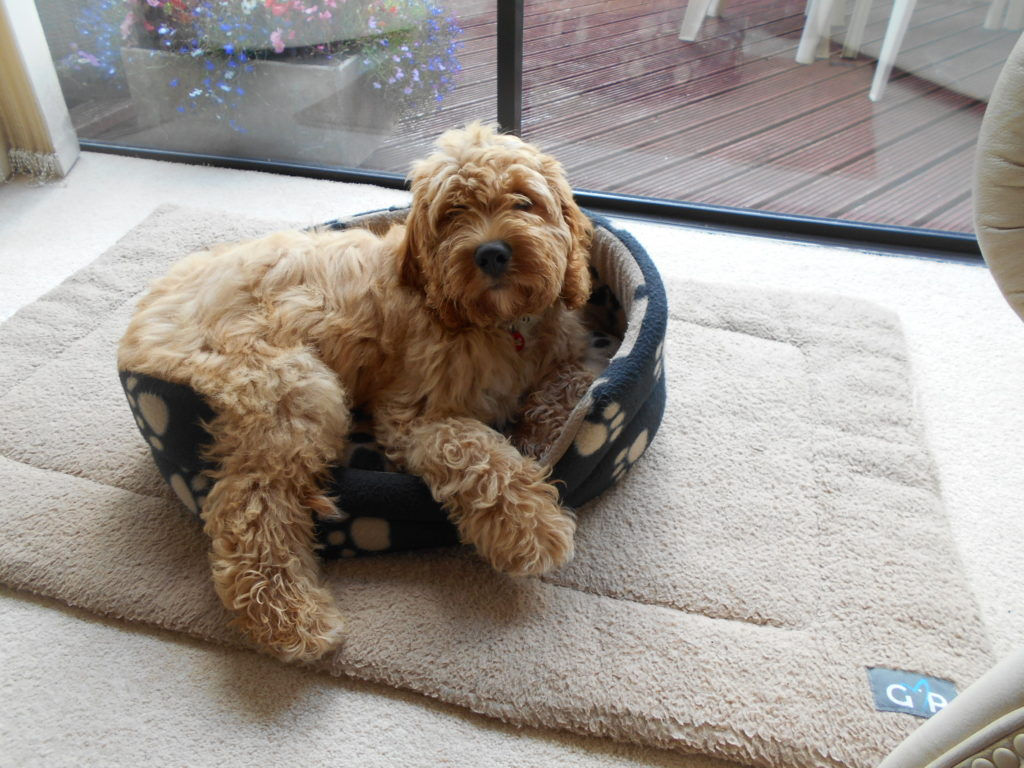 Clumberdoodle Archie needs a new bed