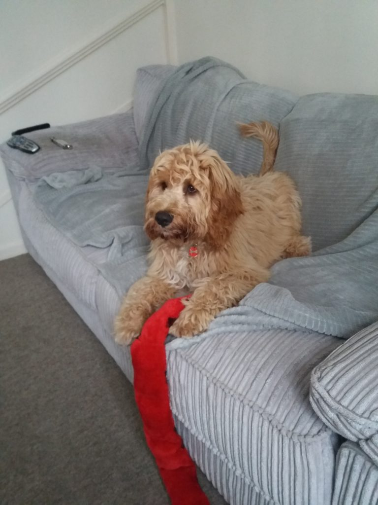 Archie the Clukberdoodle Puppy with Snake