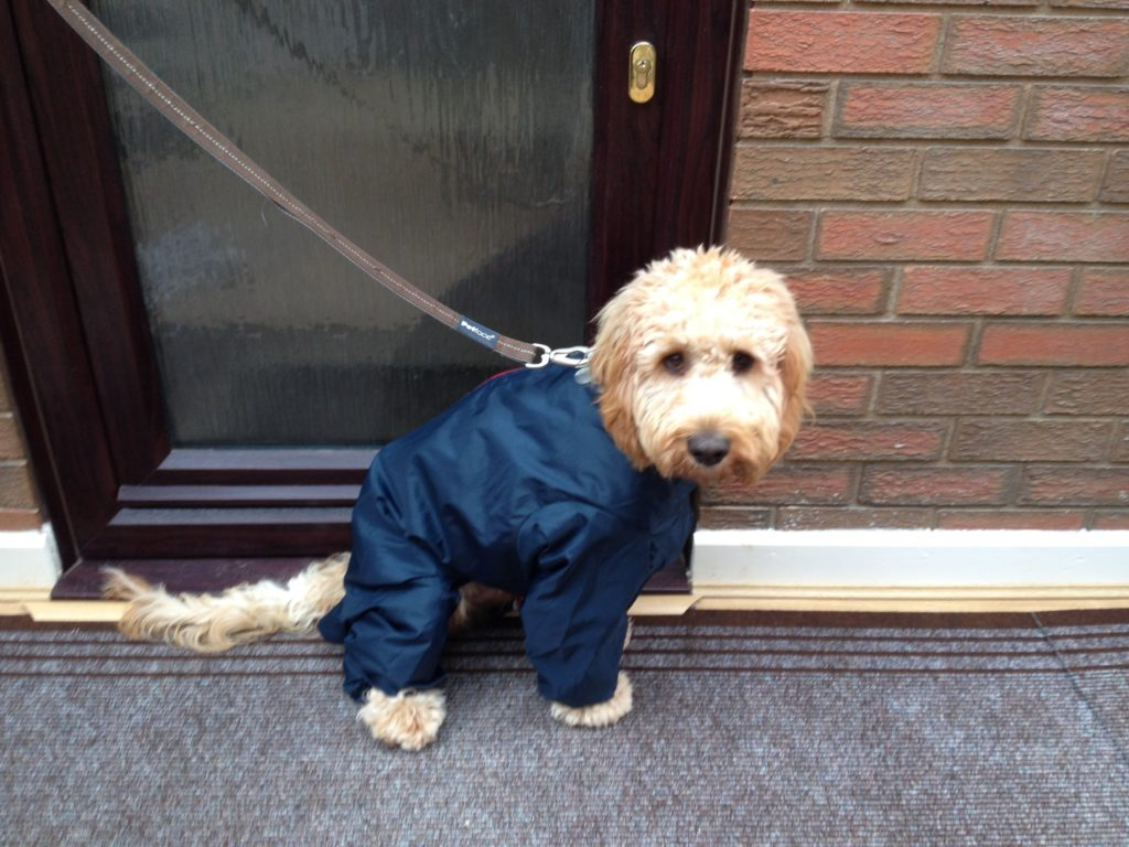 Archie the Clumberdoodle in his All In One Suit