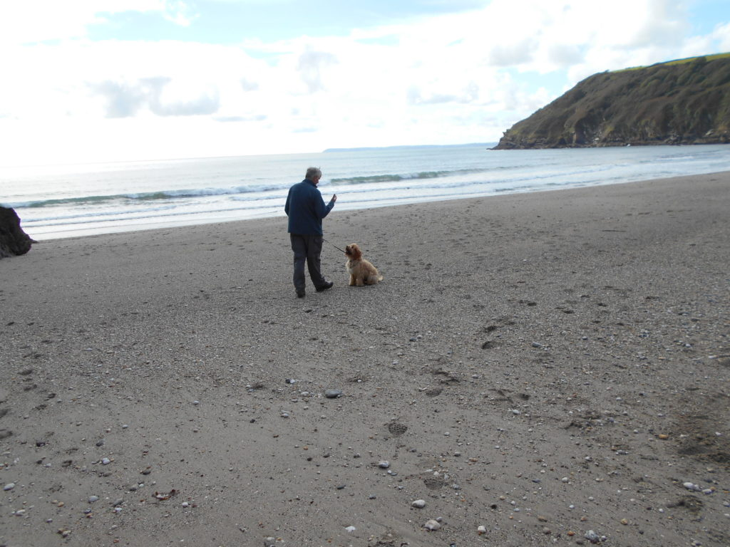 Archie the Clumberdoodle at Atlantic Bay Cornwall