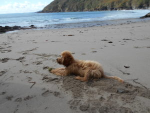 Clumberdoodle Archie On A Short Break To Cornwall