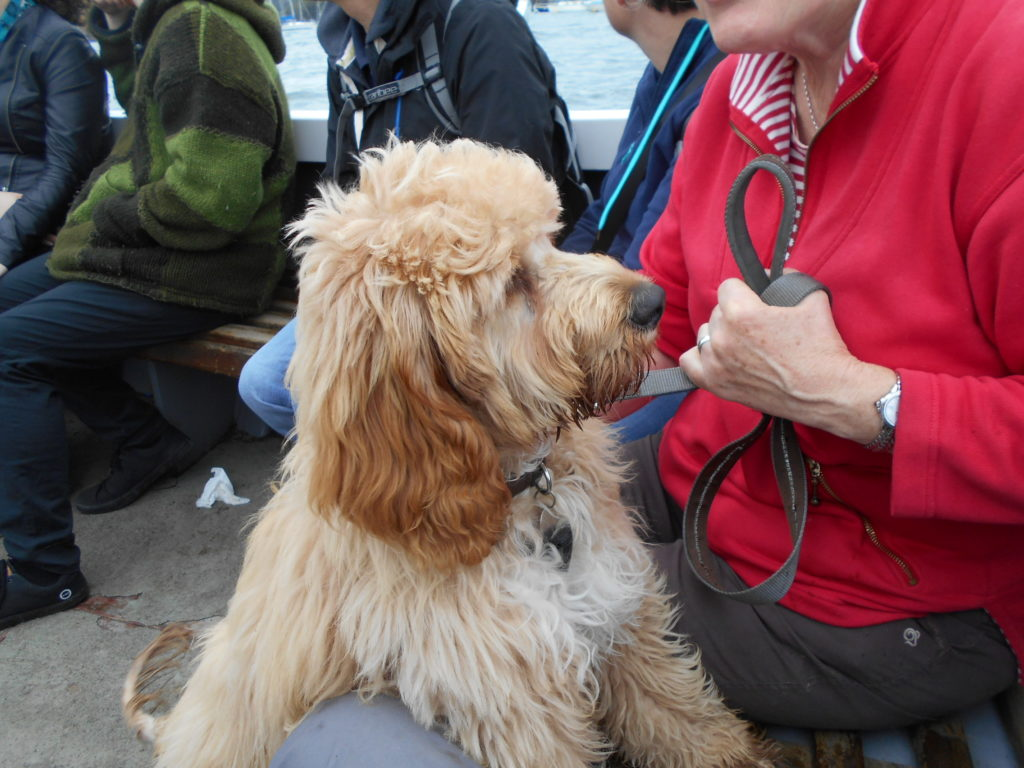 Clumberdoodle Archie on the Polruan Foot Ferry