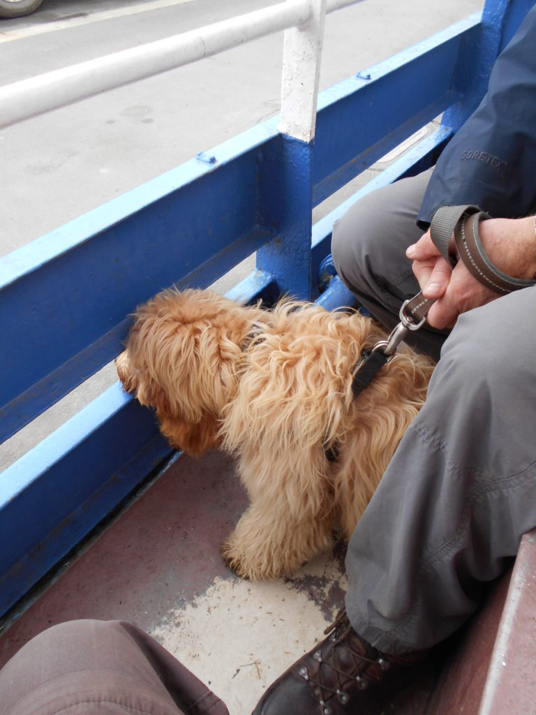 Archie the Clumberdoodle on the Fowey Car Ferry