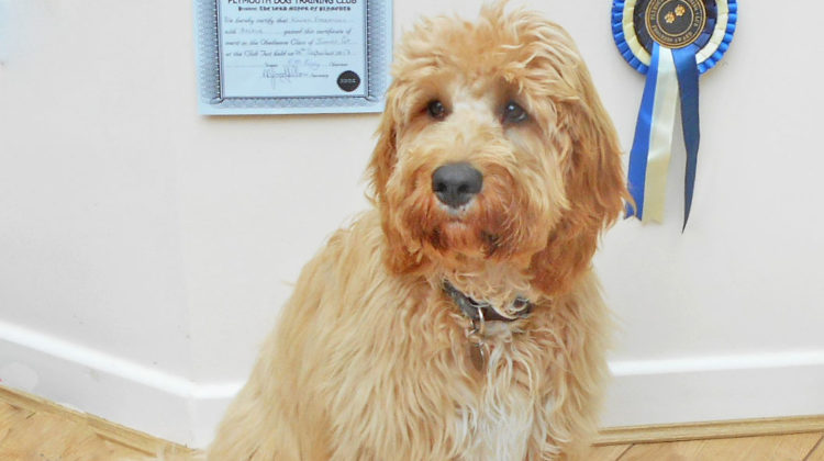 Clumberdoodle Archie Diary Aged 6 Months Onwards