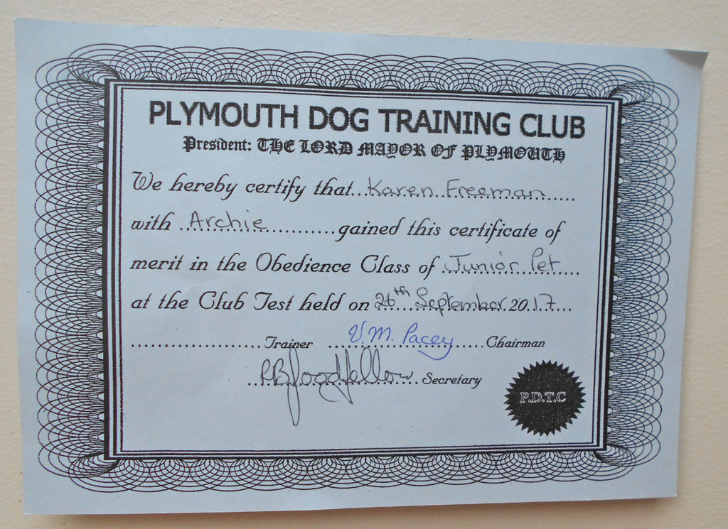 Archie the Clumberdoodle with obedience certificate