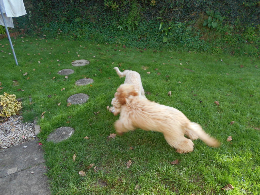 Archie & Biscuit the Clumberdoodles at Playt