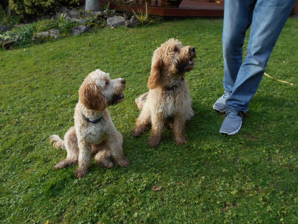 Archie & Biscuit the Clumberdoodle Brothers