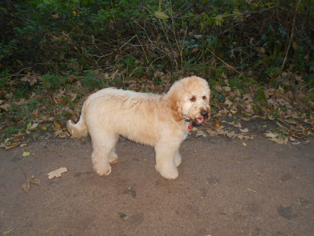 Archie the Clumberdoodle all fluffed up after grooming