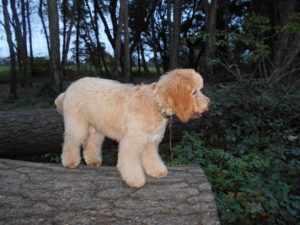 Pet Supplies - Help Feed A Clumberdoodle