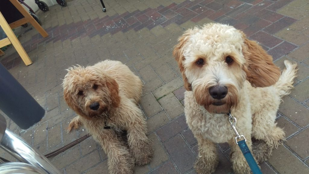Archie the Clumberdoodle & Brother