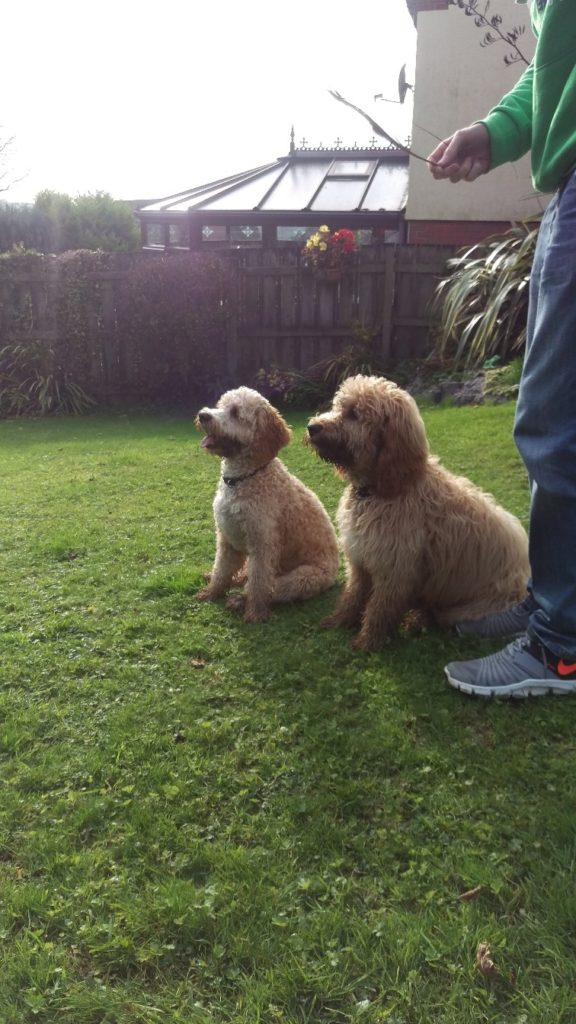 Archie the Clumberdoodle and his Brotgher