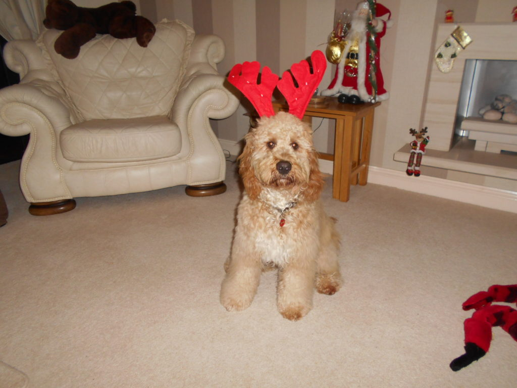 Archie the Clumberdoodle as Rudolph
